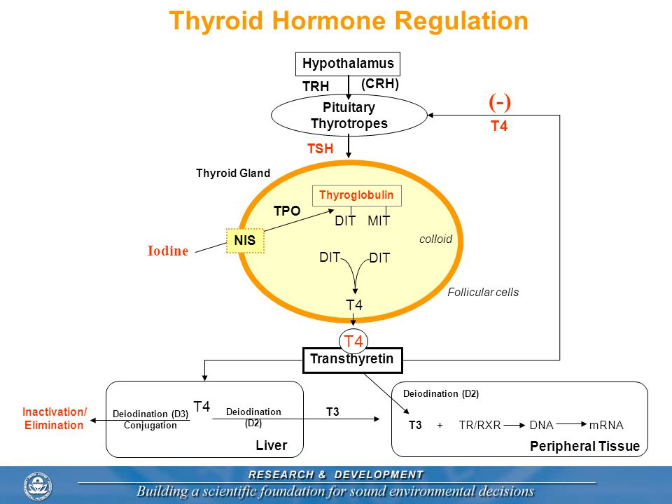 Thyroid Hormone Regulation