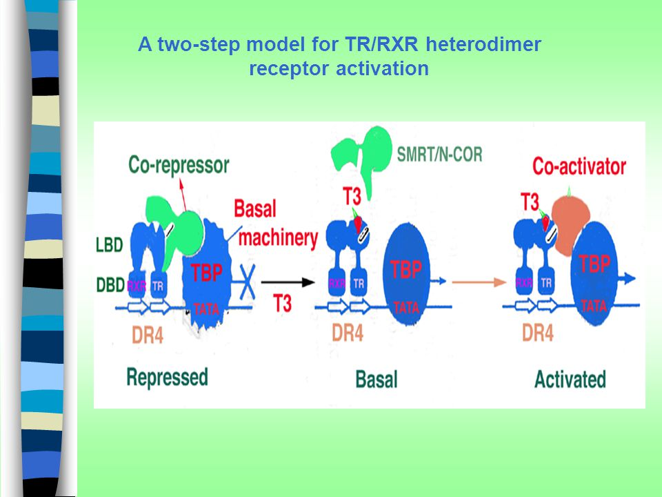 A two-step model for TR/RXR heterodimer receptor activation