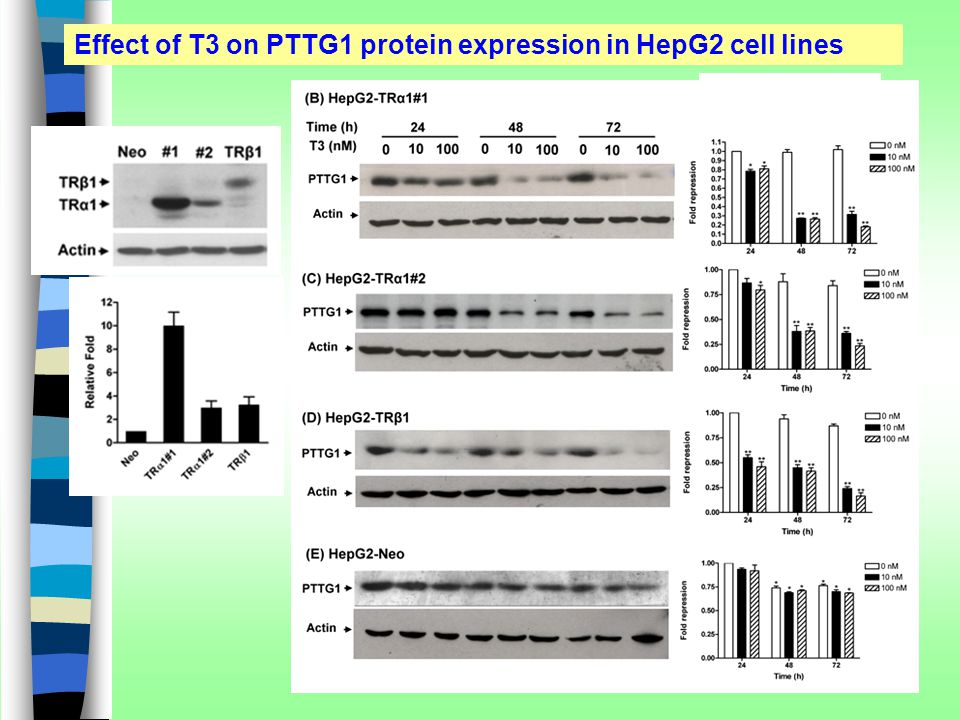 Effect of T3 on PTTG1 protein expression in HepG2 cell lines