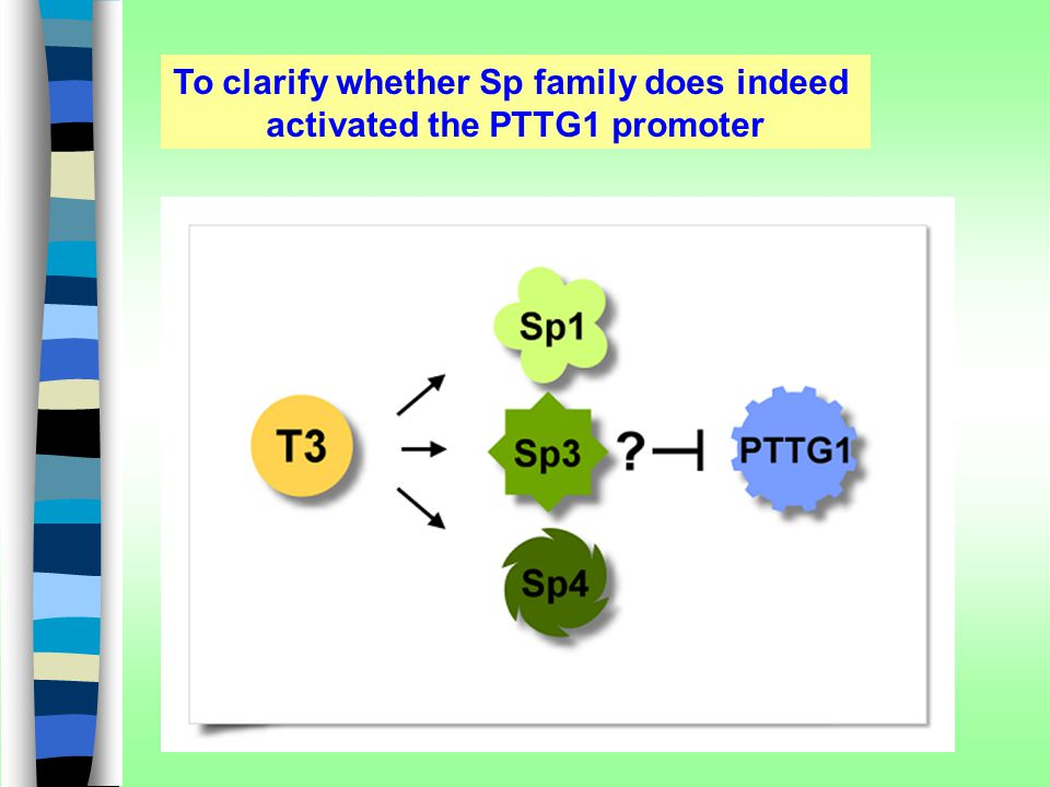 To clarify whether Sp family does indeed activated the PTTG1 promoter