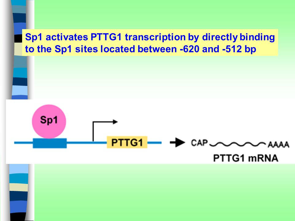 Sp1 activates PTTG1 transcription by directly binding