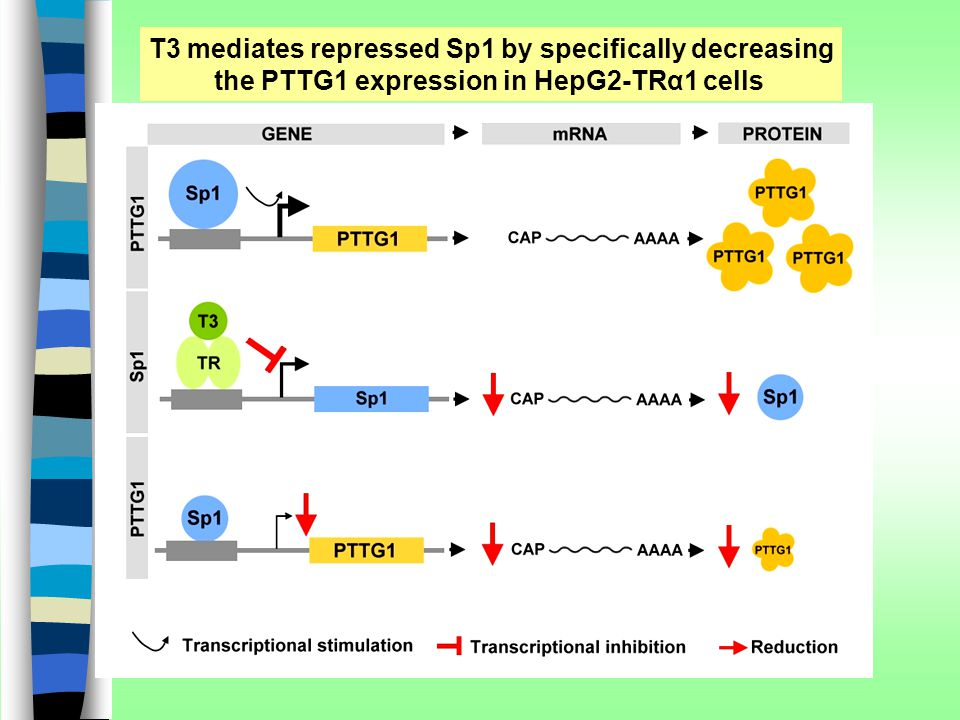 T3 mediates repressed Sp1 by specifically decreasing