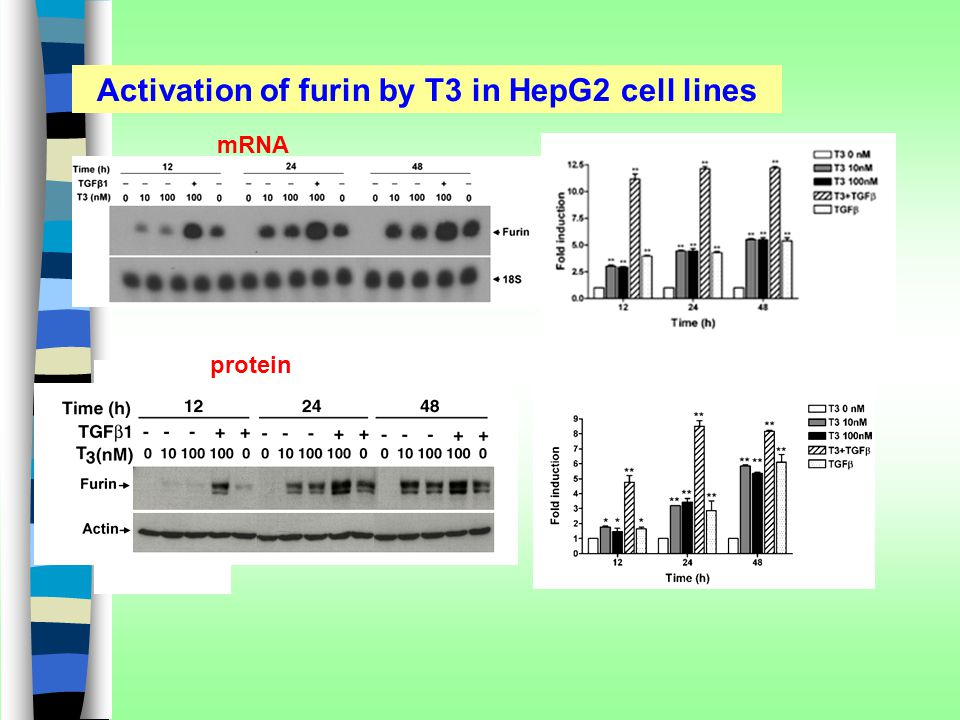 Activation of furin by T3 in HepG2 cell lines