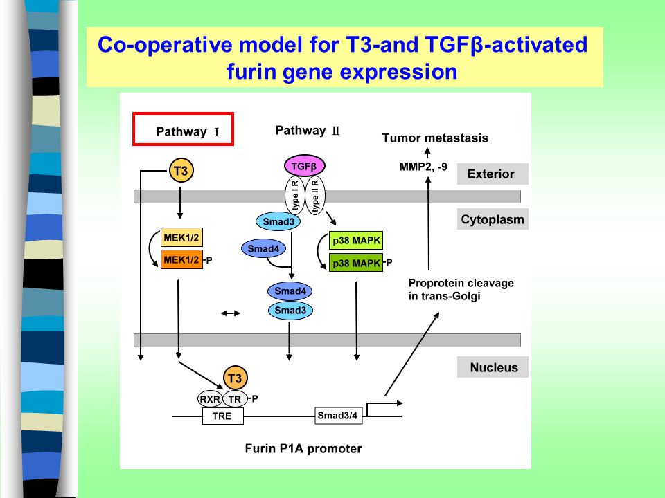 Co-operative model for T3-and TGFβ-activated