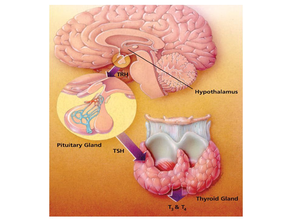 Thyroid function is controlled by a gland located just below the brain, known as the pituitary.