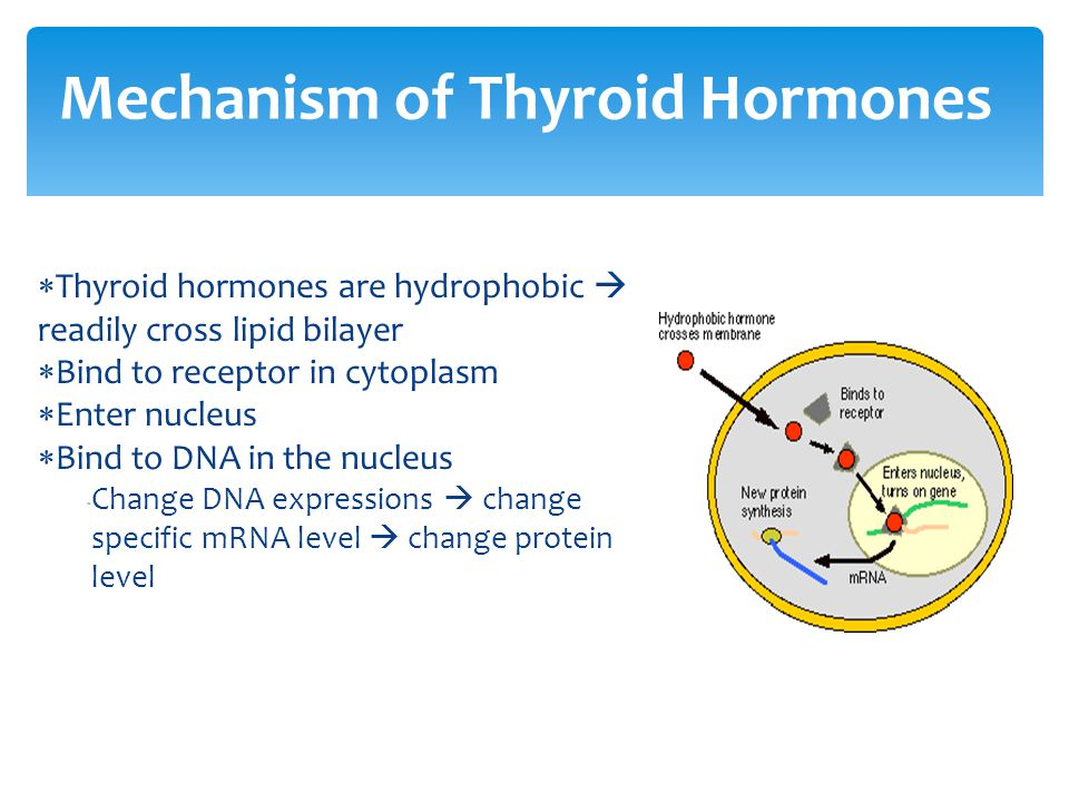 Mechanism of Thyroid Hormones