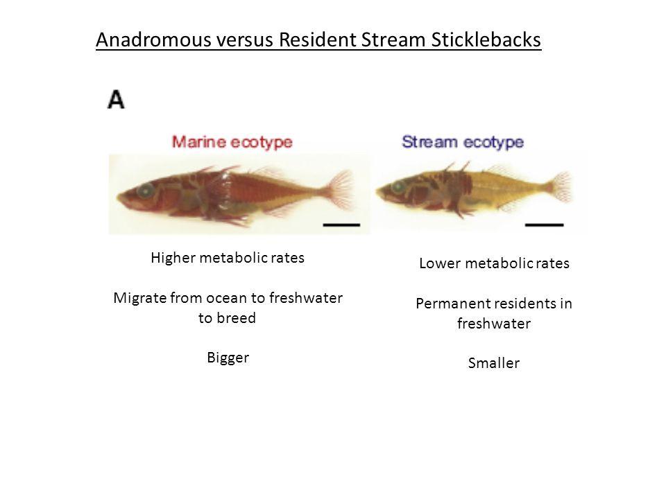 Anadromous versus Resident Stream Sticklebacks