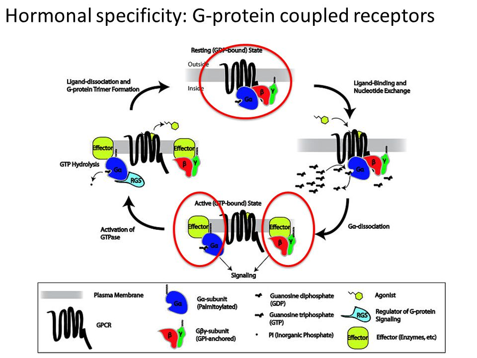 Hormonal specificity: G-protein coupled receptors
