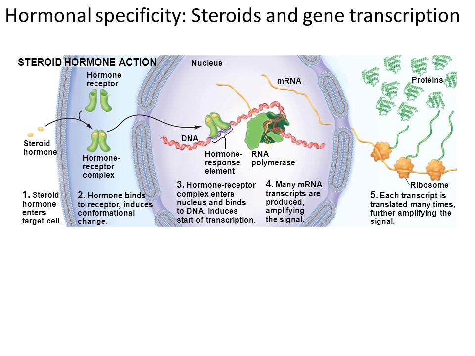Hormonal specificity: Steroids and gene transcription