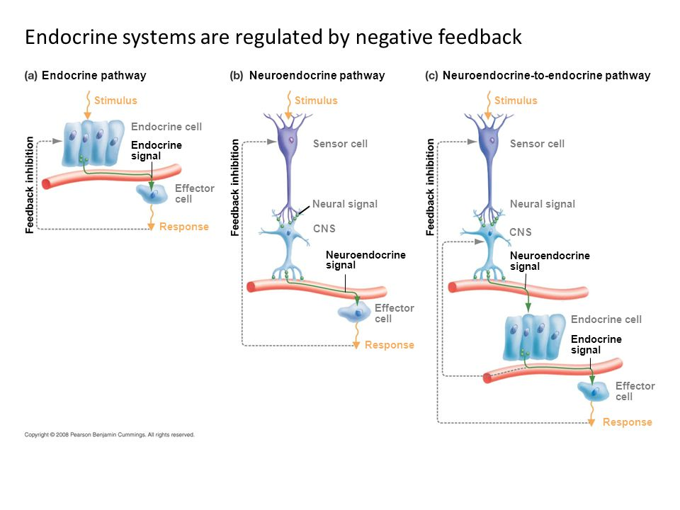Endocrine systems are regulated by negative feedback