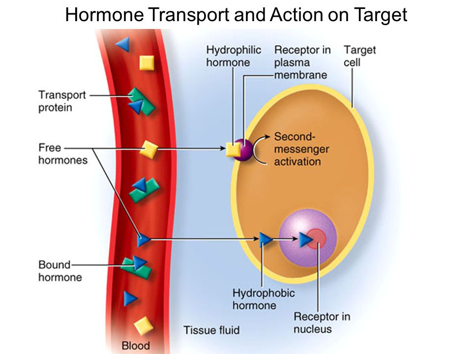 Hormone Transport and Action on Target