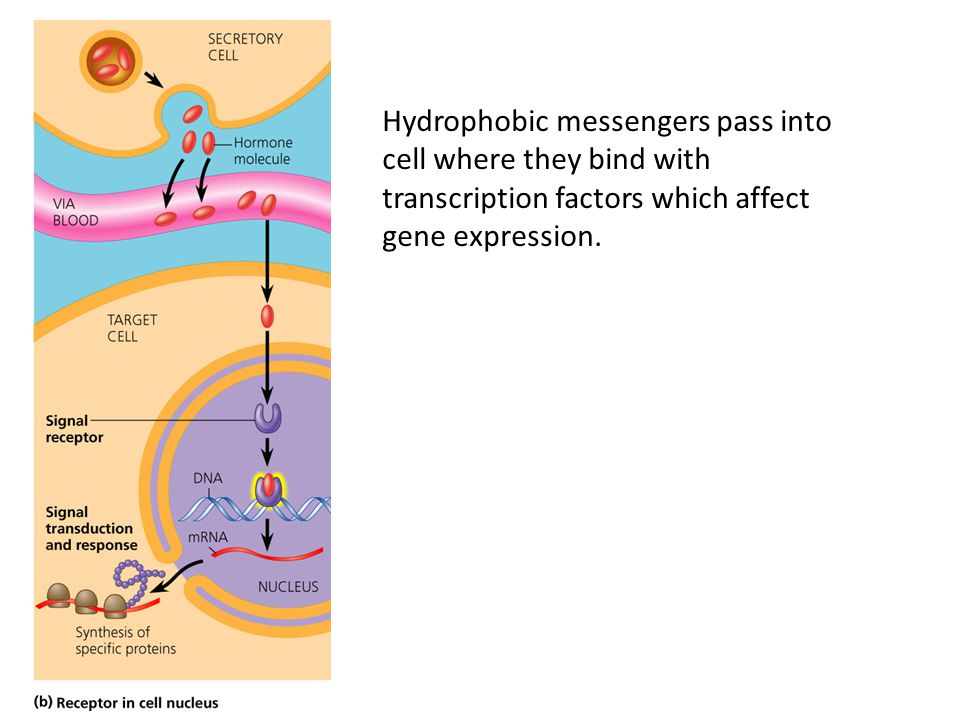 Hydrophobic messengers pass into cell where they bind with transcription factors which affect gene expression.