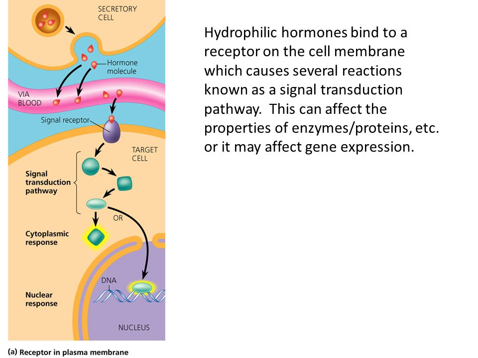 Hydrophilic hormones bind to a receptor on the cell membrane which causes several reactions known as a signal transduction