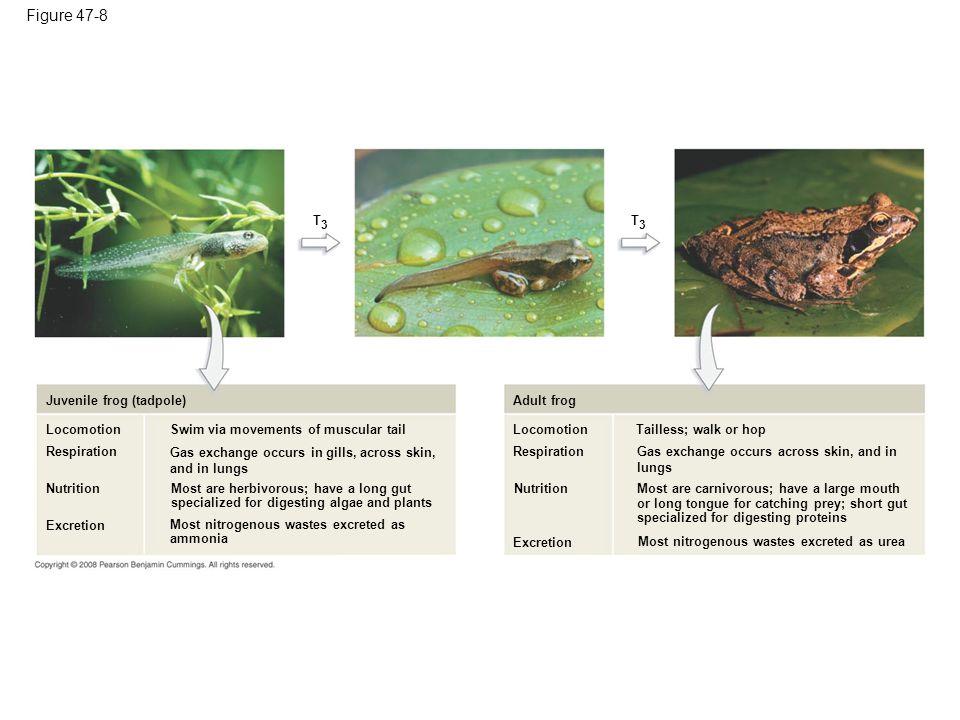 Figure 47-8 T3 T3 Juvenile frog (tadpole) Adult frog Locomotion