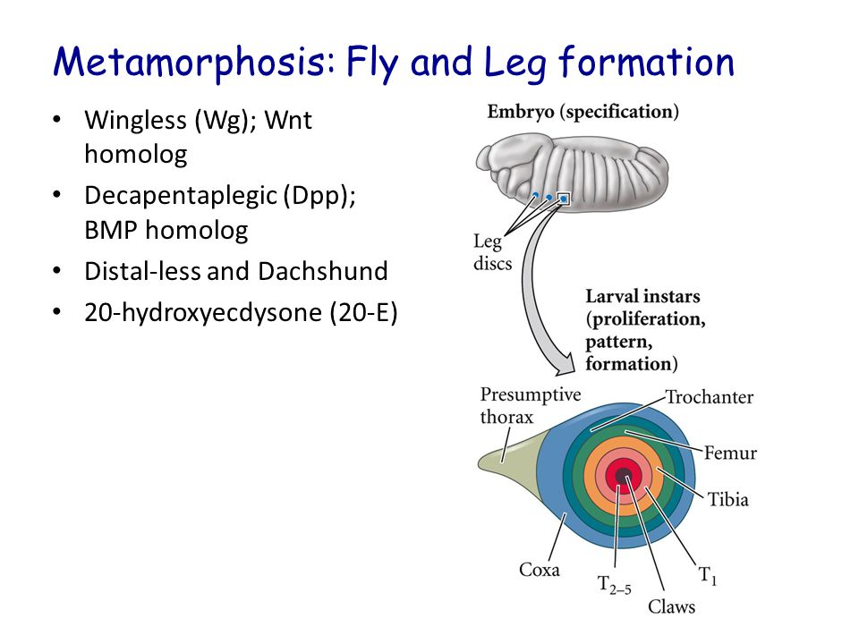 Metamorphosis: Fly and Leg formation