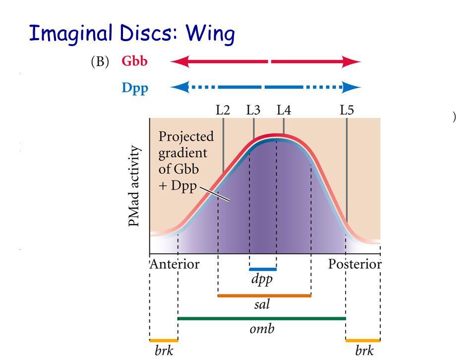 Imaginal Discs: Wing