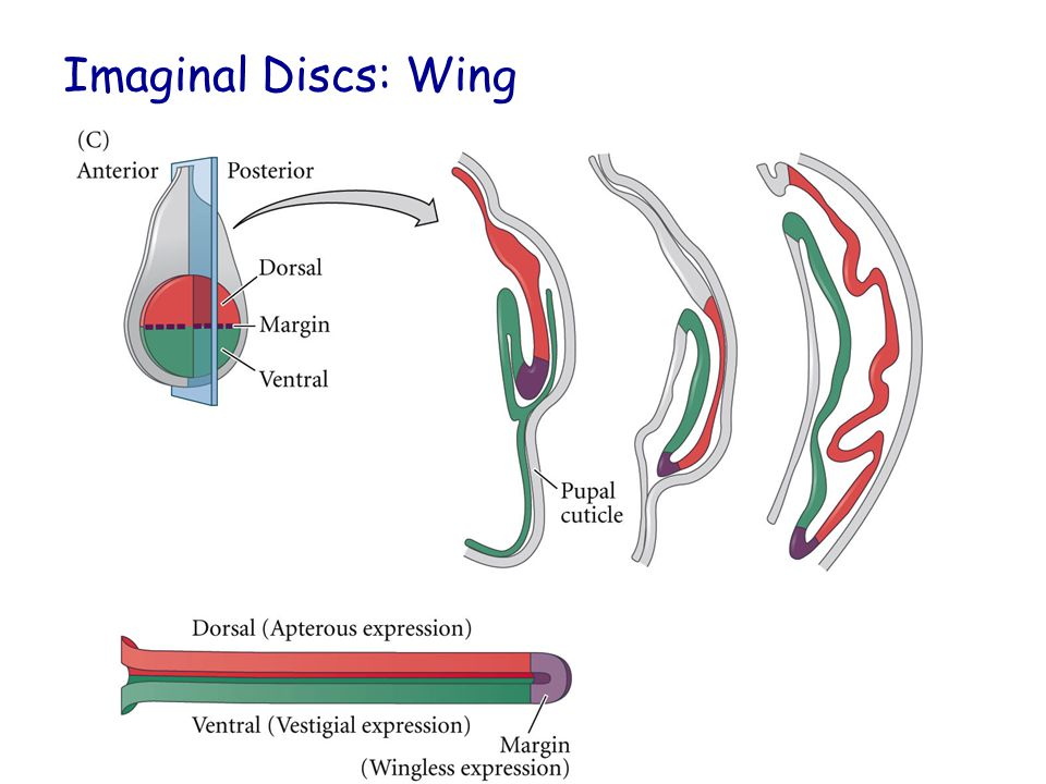 Imaginal Discs: Wing Figure 15.15