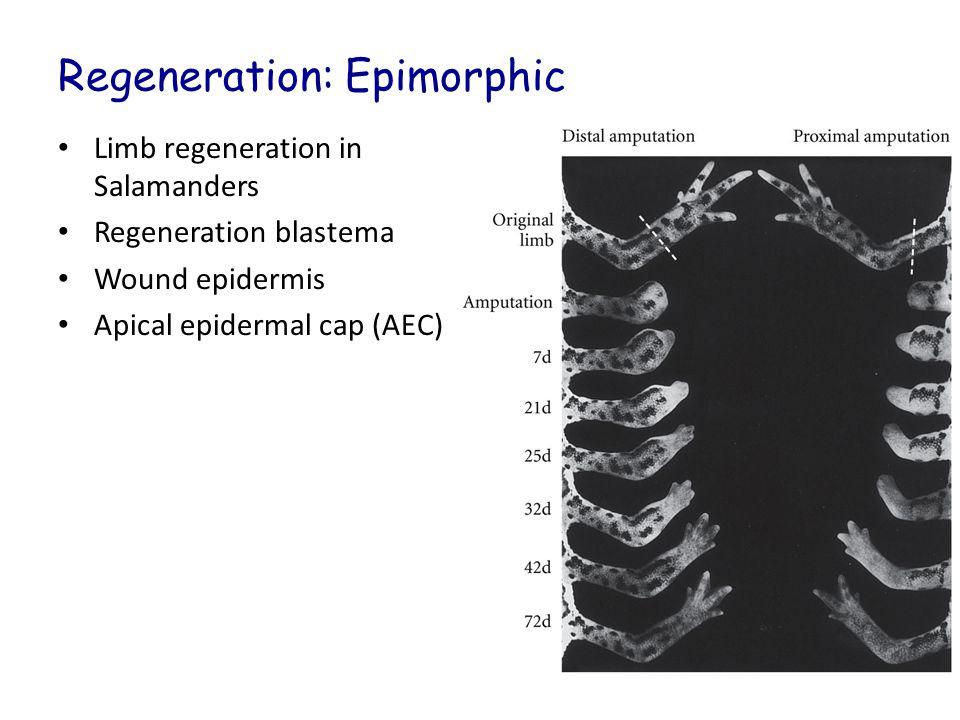 Regeneration: Epimorphic