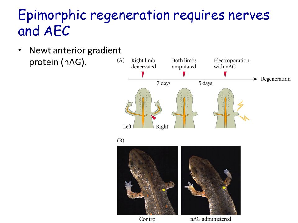 Epimorphic regeneration requires nerves and AEC