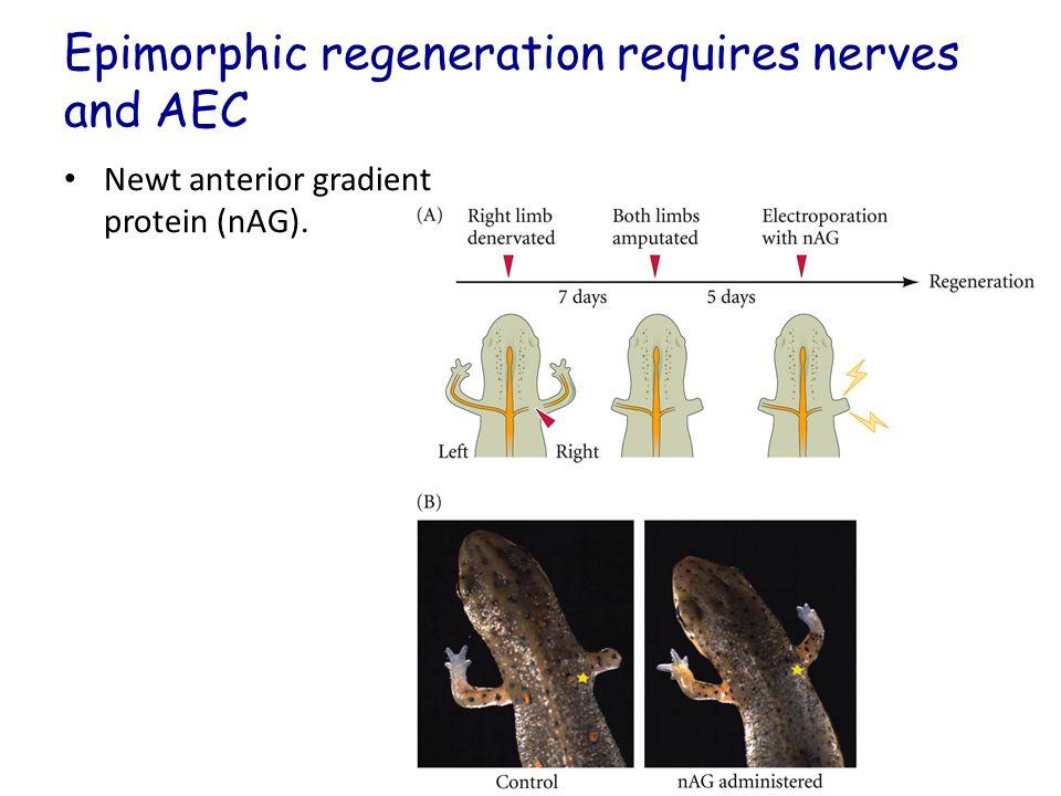 Epimorphic regeneration requires nerves and AEC