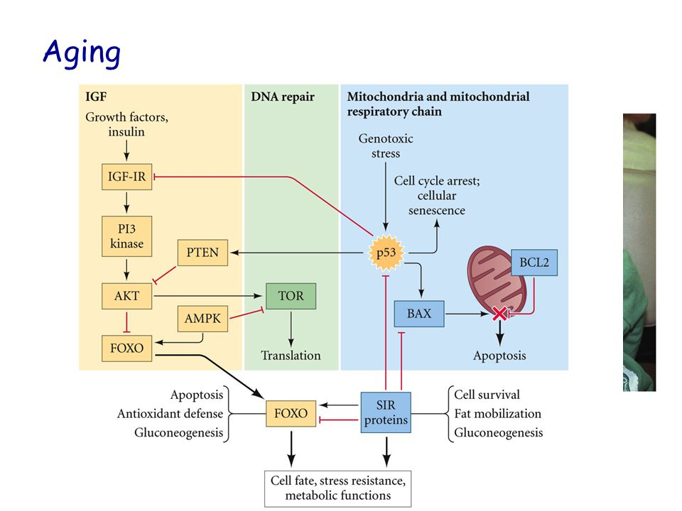 Aging DNA repair enzymes p53 Insulin Signaling