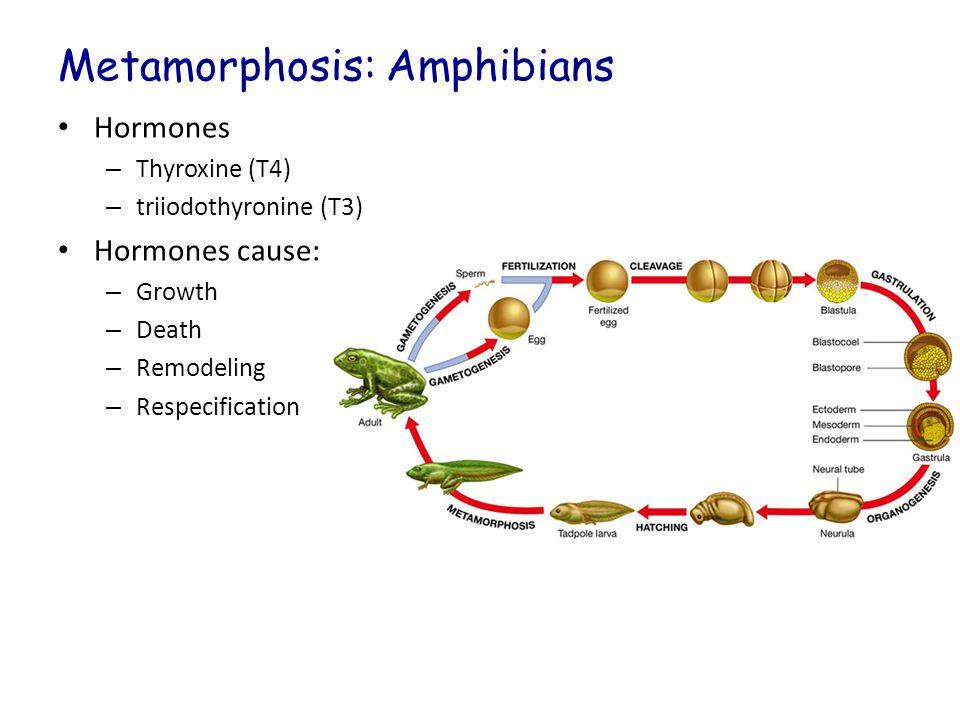 Metamorphosis: Amphibians