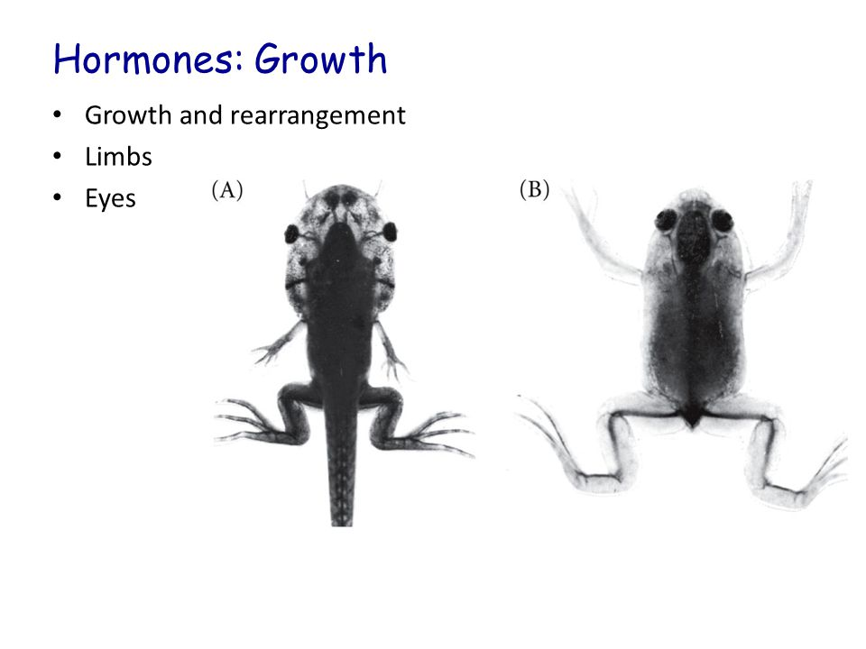 Hormones: Growth Growth and rearrangement Limbs Eyes