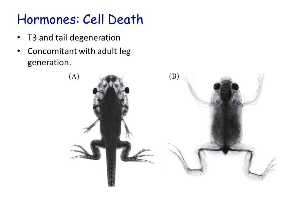 Hormones: Cell Death T3 and tail degeneration