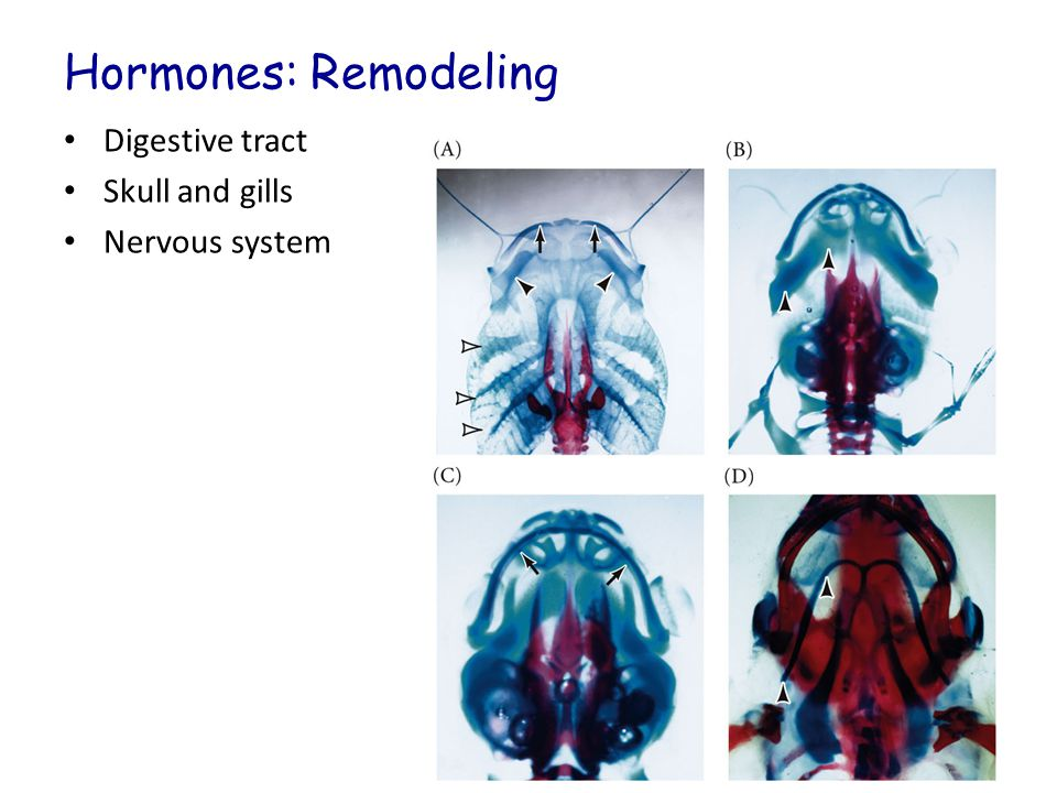 Hormones: Remodeling Digestive tract Skull and gills Nervous system