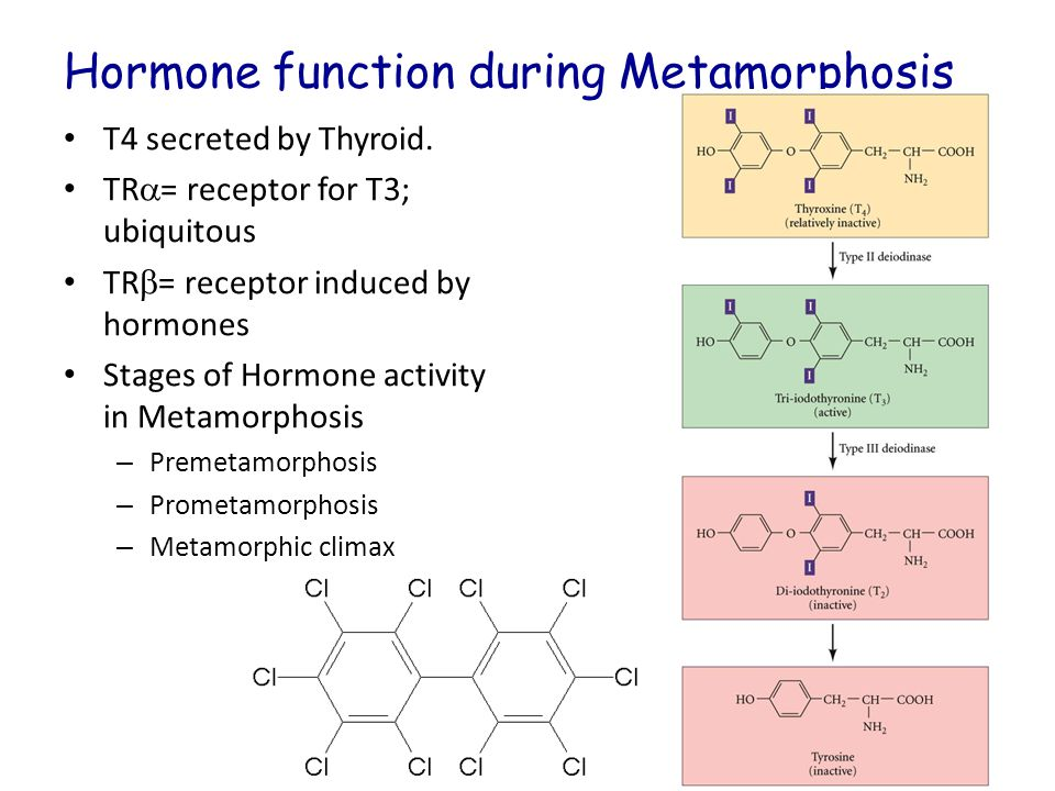 Hormone function during Metamorphosis