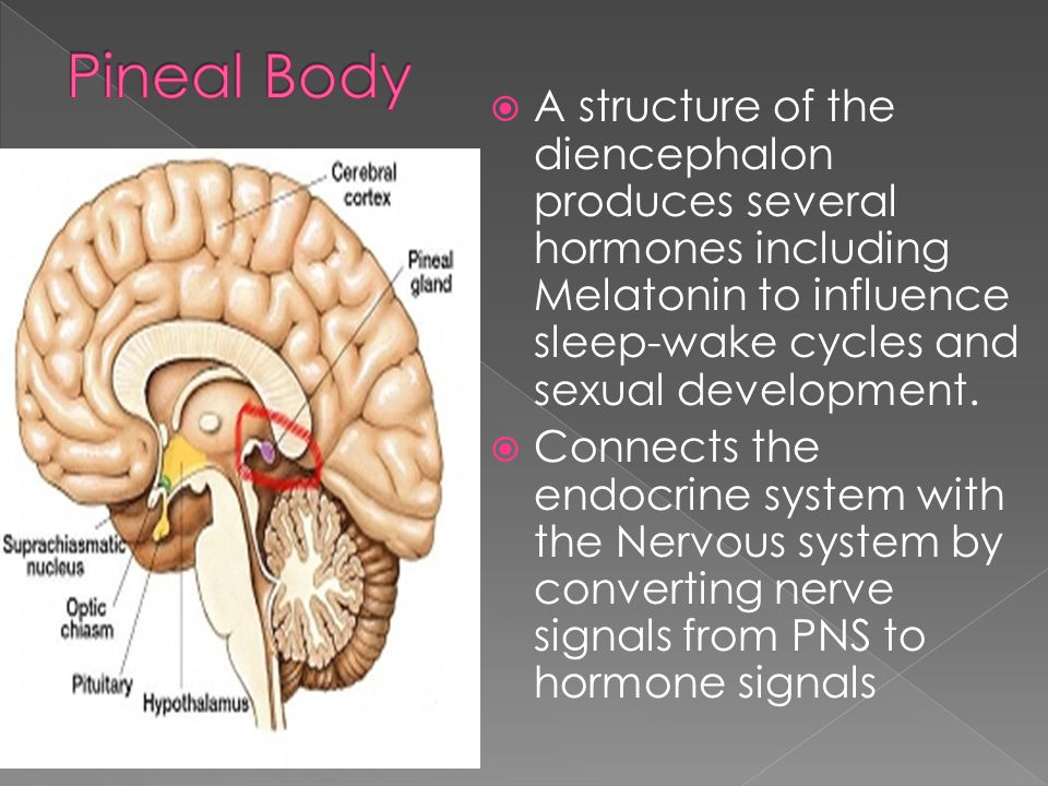 Pineal Body A structure of the diencephalon produces several hormones including Melatonin to influence sleep-wake cycles and sexual development.