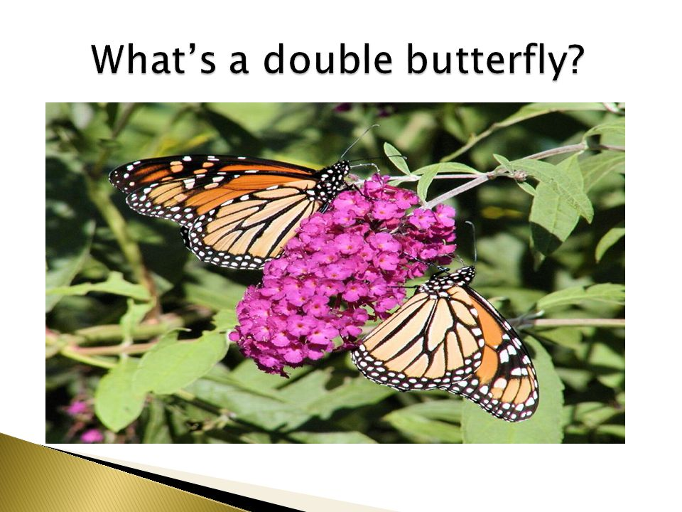 What's a double butterfly
