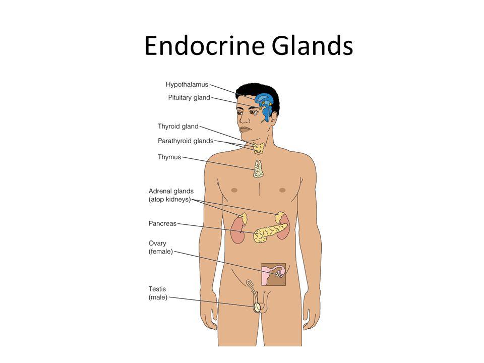 Endocrine Glands Figure 18–1 Location of the major endocrine glands.