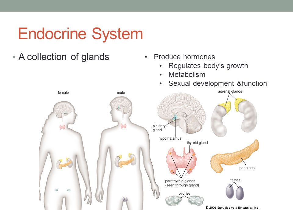 Endocrine System A collection of glands Produce hormones