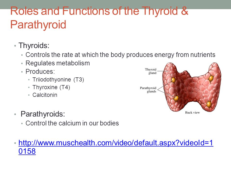 Roles and Functions of the Thyroid & Parathyroid