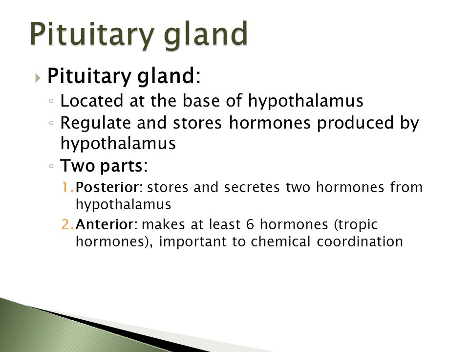 Pituitary gland Pituitary gland: Located at the base of hypothalamus