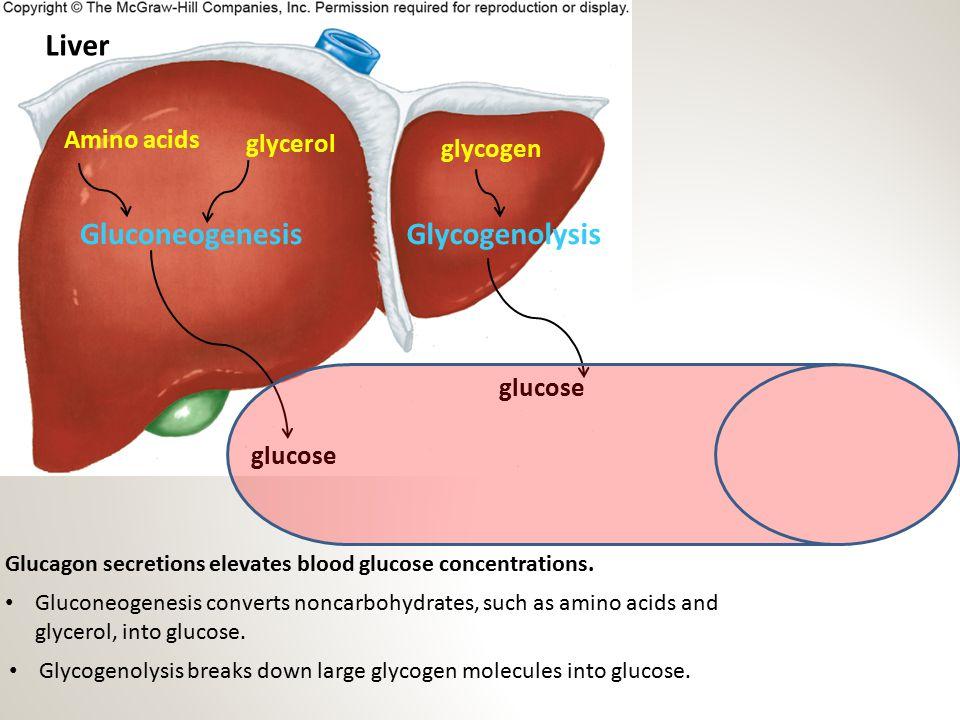 Liver Gluconeogenesis Glycogenolysis Amino acids glycerol glycogen