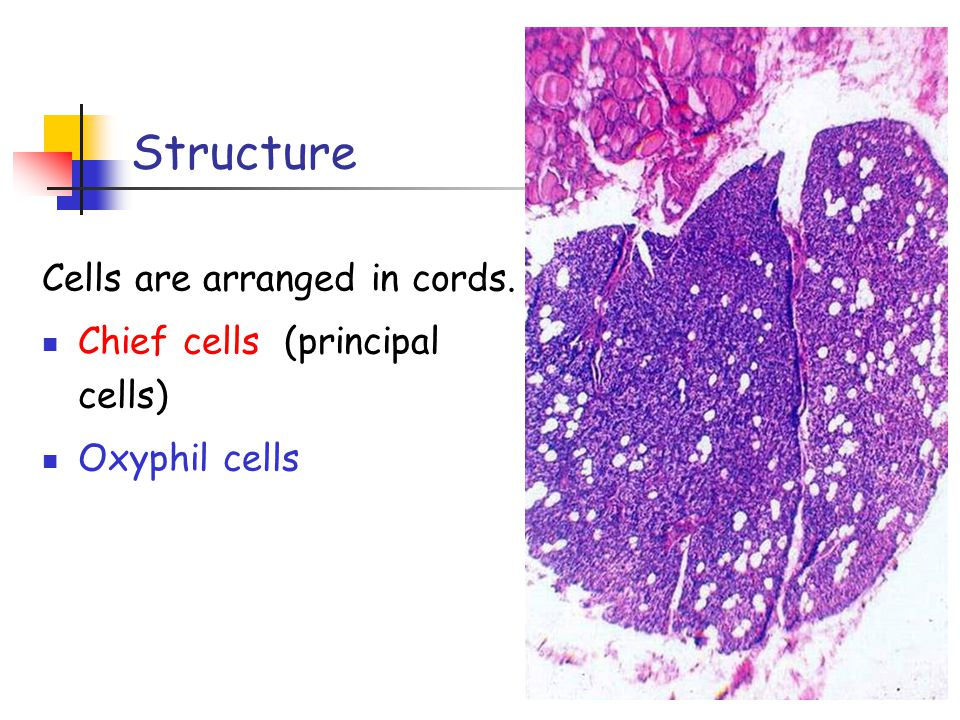 Structure Cells are arranged in cords. Chief cells (principal cells)
