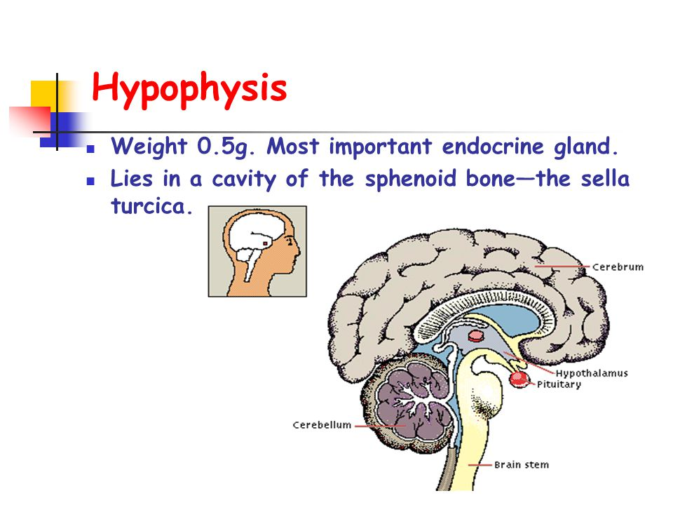 Hypophysis Weight 0.5g. Most important endocrine gland.