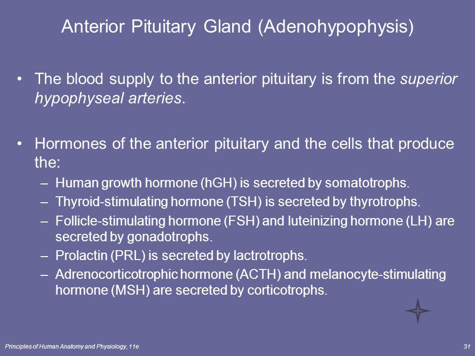 Anterior Pituitary Gland (Adenohypophysis)
