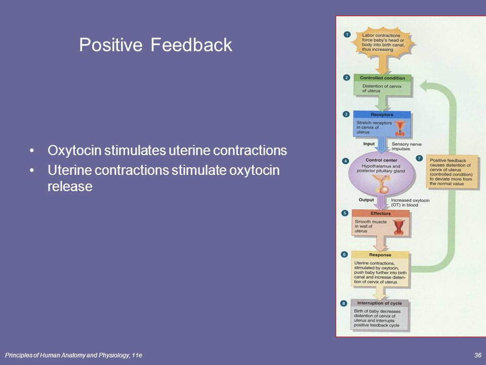 Positive Feedback Oxytocin stimulates uterine contractions