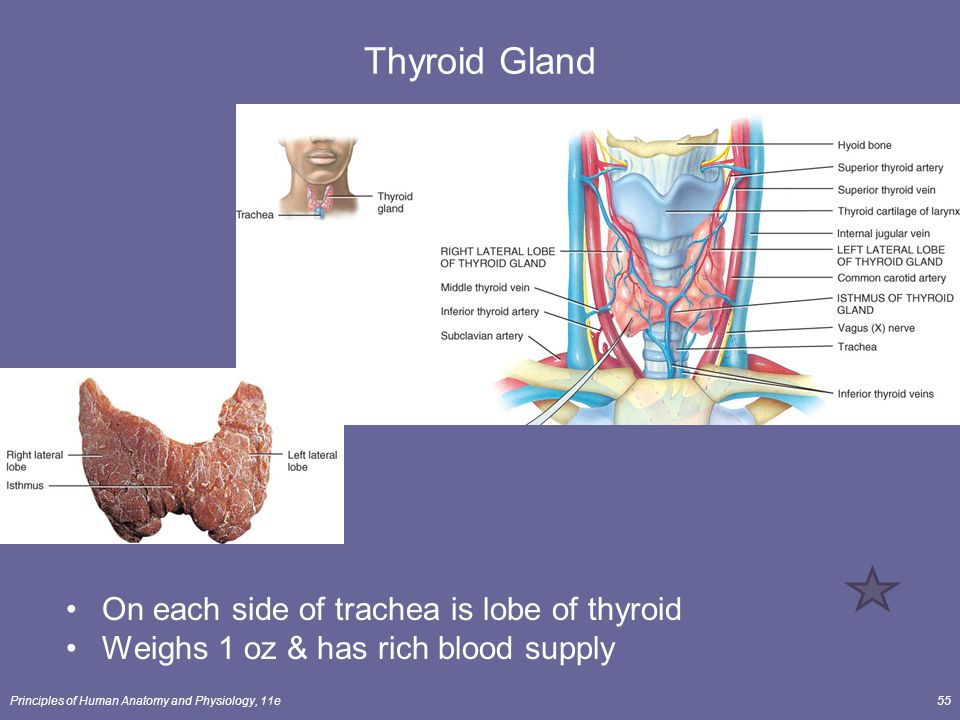 Thyroid Gland On each side of trachea is lobe of thyroid