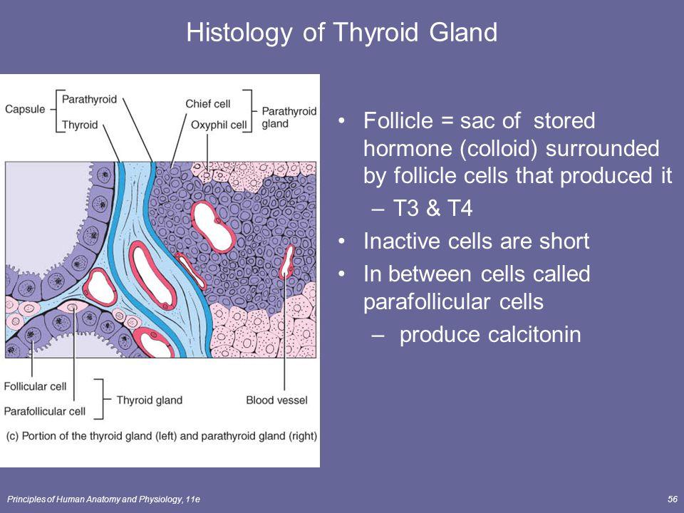 Histology of Thyroid Gland