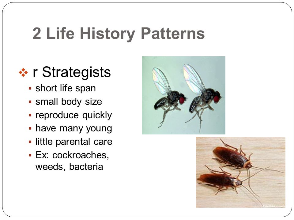 2 Life History Patterns r Strategists short life span small body size