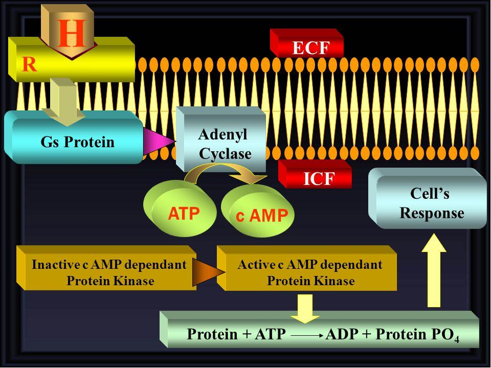 Inactive c AMP dependant Protein + ATP ADP + Protein PO4