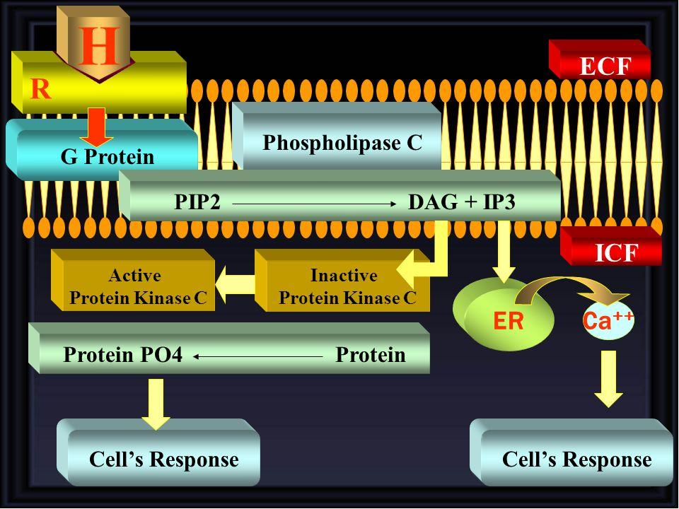 H R ECF ICF ER Ca++ Phospholipase C G Protein PIP2 DAG + IP3