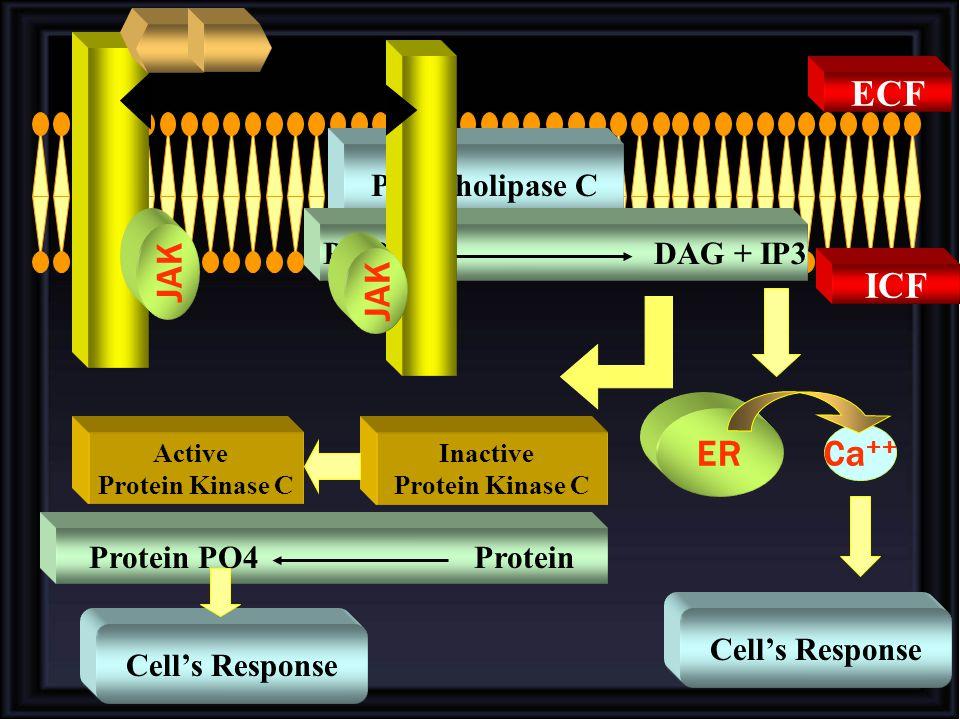ECF JAK JAK ICF ER Ca++ Phospholipase C PIP2 DAG + IP3
