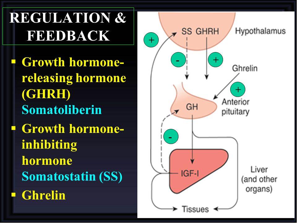 REGULATION & FEEDBACK + Growth hormone-releasing hormone (GHRH) Somatoliberin. Growth hormone-inhibiting hormone Somatostatin (SS)