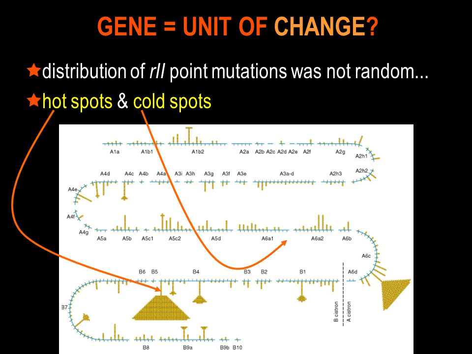 GENE = UNIT OF CHANGE distribution of rII point mutations was not random... hot spots & cold spots