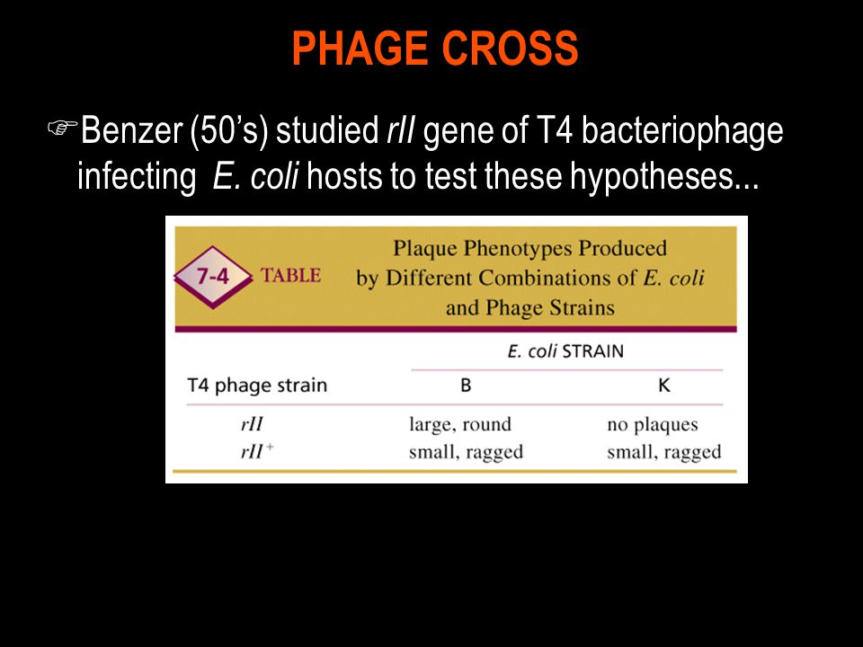 PHAGE CROSS Benzer (50's) studied rII gene of T4 bacteriophage infecting E.
